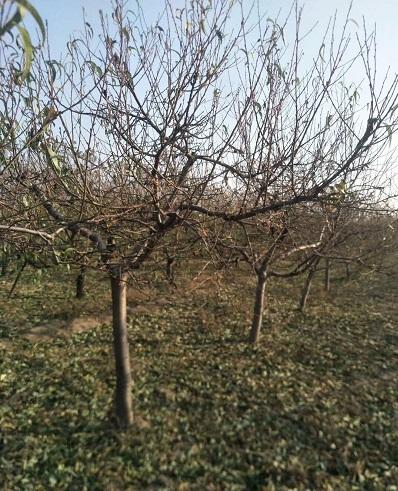 陕西10公分占地桃树出售