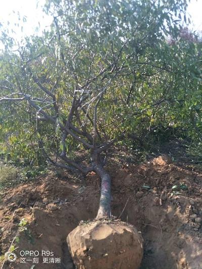 4公分占地桃树出售