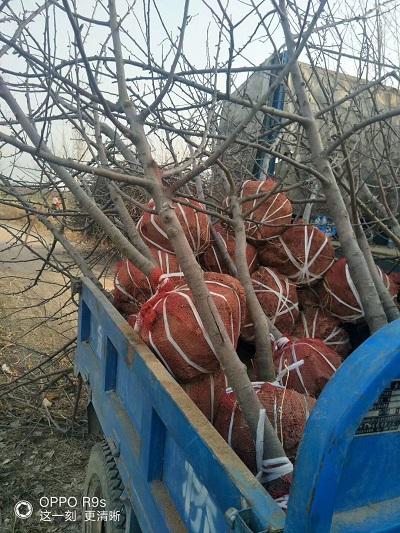山西6公分开心形桃树价格质量可靠