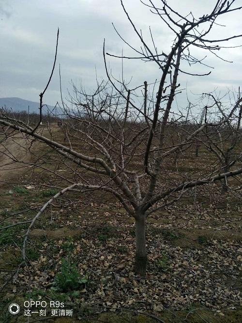 山西15公分苹果树