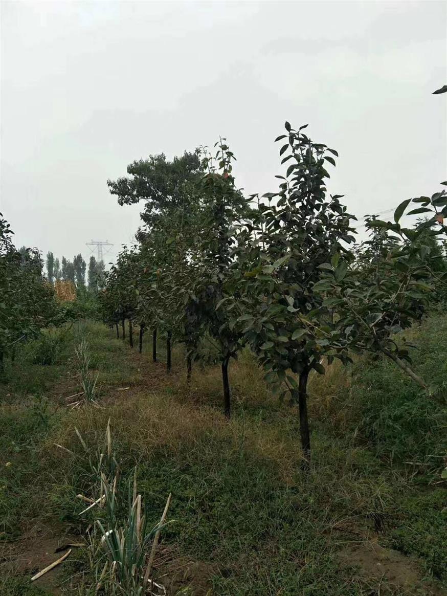 5公分阳丰柿子树厂家