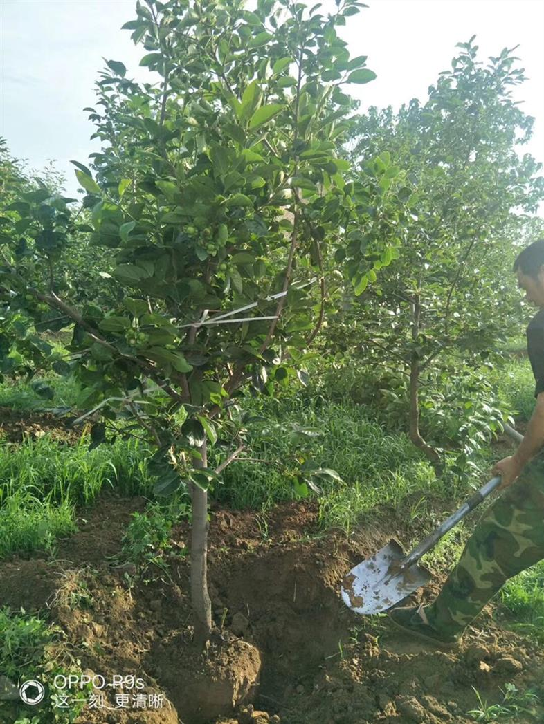 12公分柿子树基地