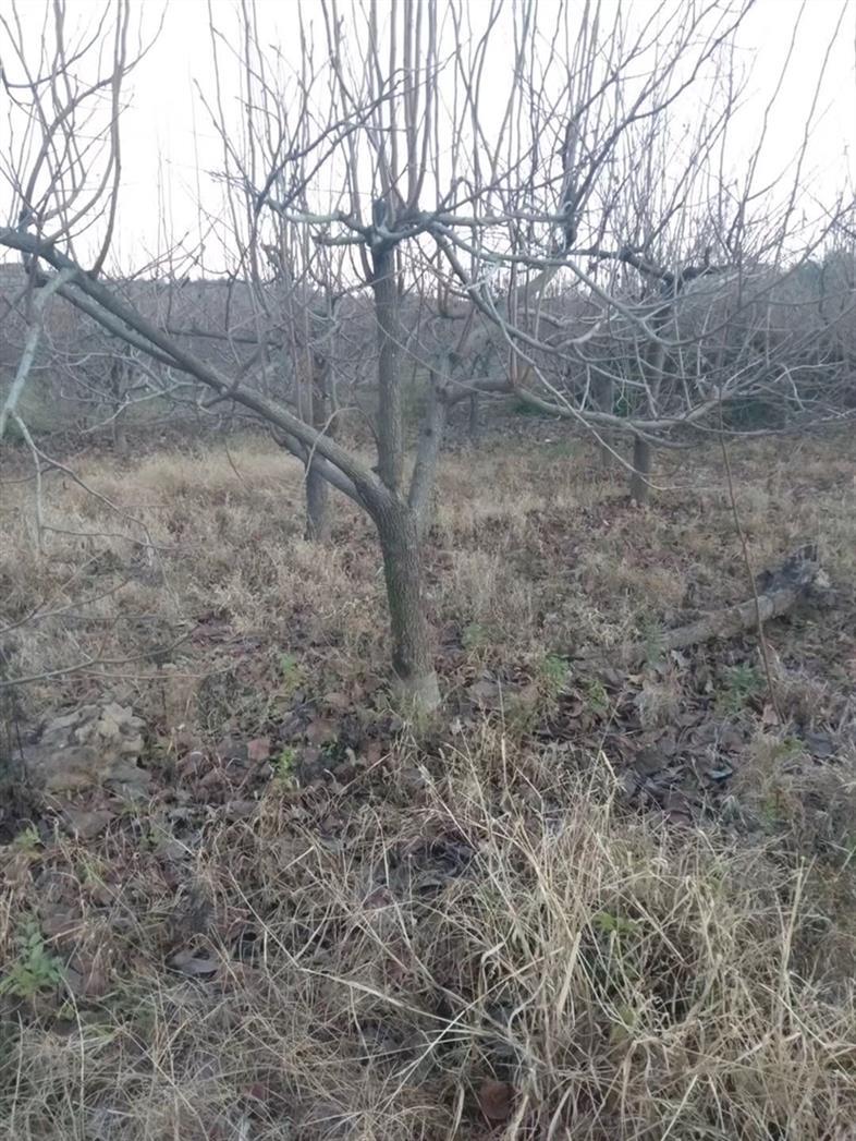 15公分柿子树厂家