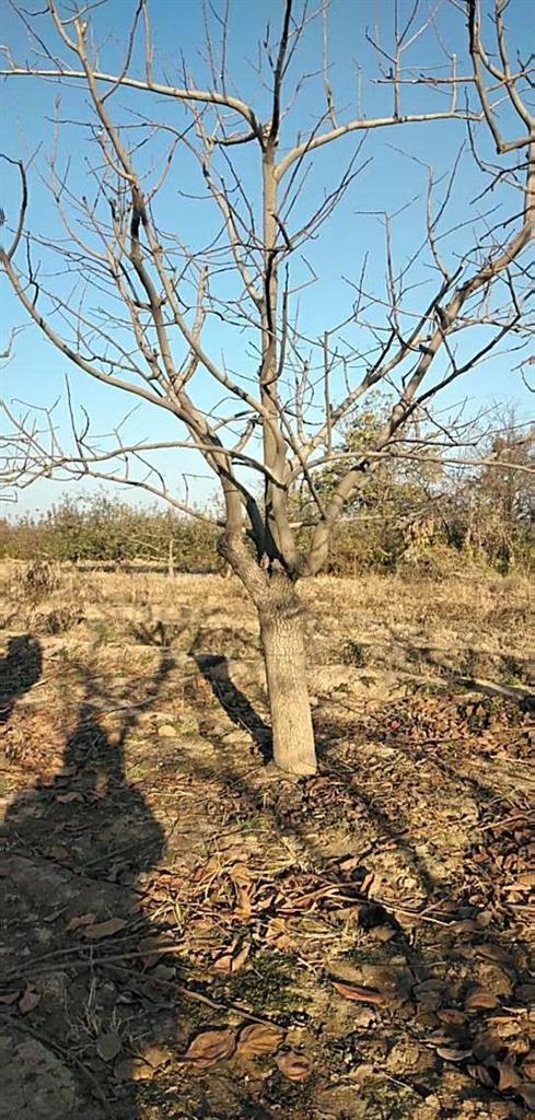 18公分柿子树基地