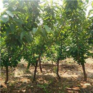 独杆樱桃苗怎么种植、独杆樱桃苗基地