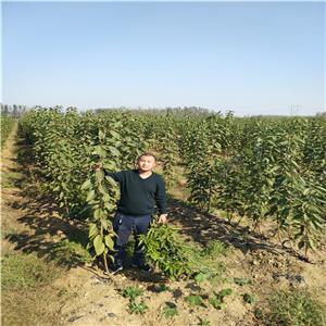 弗里斯科樱桃树苗 今年价格及报价一览表