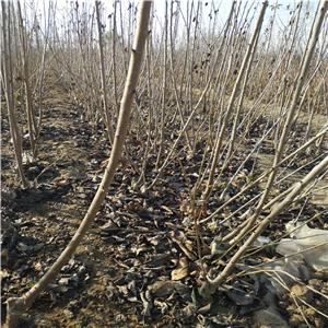一根棍樱桃树苗怎么修剪枝和拉枝、一根棍樱桃树苗基地