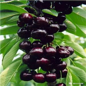 车厘子樱桃树苗怎么修剪枝和拉枝