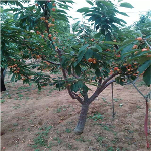 大樱桃苗流胶是什么原因造成的、大樱桃苗基地