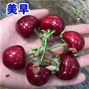 大果樱桃树苗怎么修剪枝和拉枝、大果樱桃树苗价格及报价