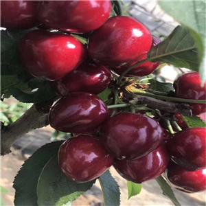 福星樱桃树苗流胶是什么原因造成的、福星樱桃树苗基地