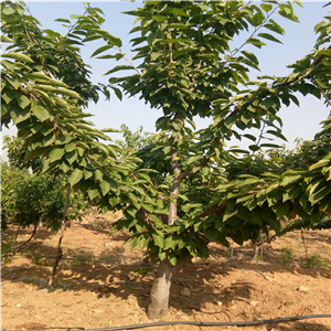 樱桃树苗流胶是什么原因造成的、樱桃树苗基地