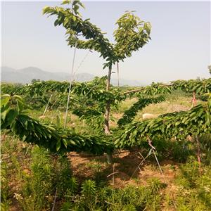 2020年车厘子樱桃树苗报价价格是多少、车厘子樱桃树苗