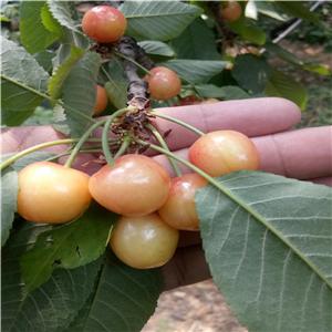 美早樱桃树苗种植技术资料大全、美早樱桃树苗价格及报价