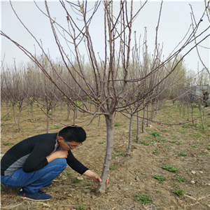 苹果苗育苗基地、苹果苗如何管理