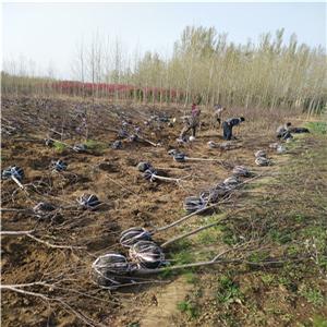 红肉苹果树苗育苗基地、红肉苹果树苗如何管理