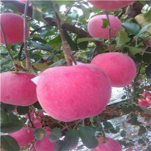 苹果树苗育苗基地、苹果树苗种植技术指导