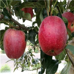 黑苹果树苗育苗基地、黑苹果树苗种植技术指导