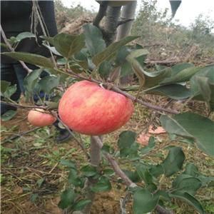 黑钻苹果苗价格、矮化黑钻苹果苗多少钱