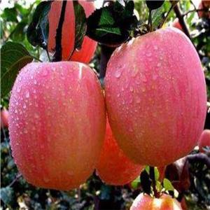 黑苹果苗基地 黑苹果苗价格报价表