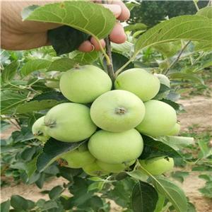 红肉苹果树苗 三年苗价格及报价一览表