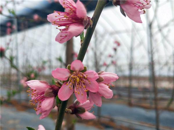 春蜜桃树苗、春蜜桃树苗价格