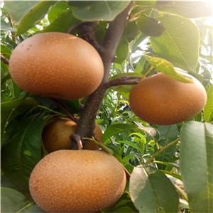 黑梨树苗基地、一棵黑梨树苗价格