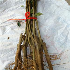 早酥红梨树苗 一年苗价格及报价一览表