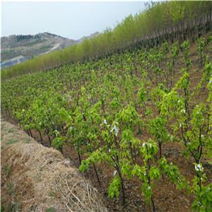 早红考密斯梨树苗在线报价、1公分早红考密斯梨树苗价格