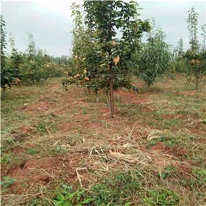 黄金梨树苗 一年苗价格及报价一览表
