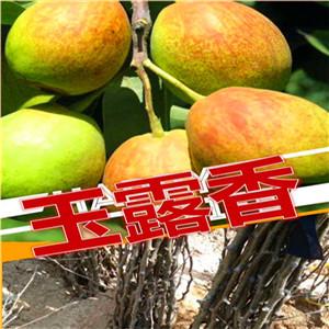 红香酥梨树苗在线报价、三年红香酥梨树苗价格