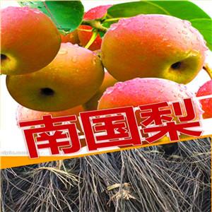 玉露香梨树苗在线报价、一年玉露香梨树苗价格