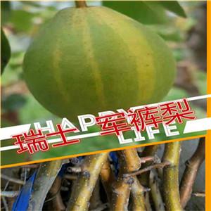 玉露香梨树苗基地、一棵玉露香梨树苗价格