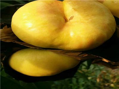 枣油桃树苗 三年苗价格及报价一览表