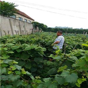 深红无籽葡萄苗价格、一株深红无籽葡萄苗预定价格