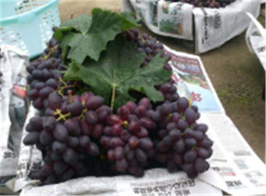 优质葡萄苗出售