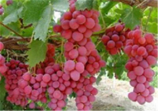 夏黑葡萄苗什么时候种