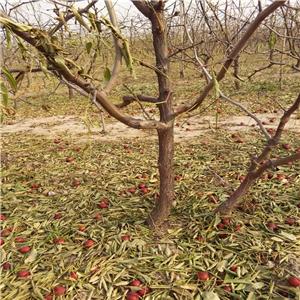 冬枣树苗价格-一棵冬枣树苗批发价格