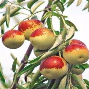 金丝4号枣树苗 一年苗价格及报价一览表