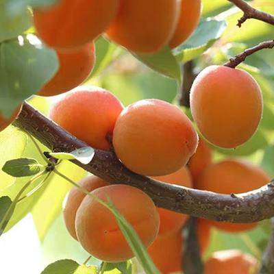 珍珠油杏树苗基地