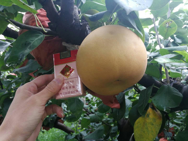 兴安盟梨树苗出售