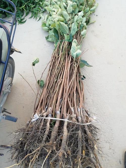 河南日本柿子苗出售