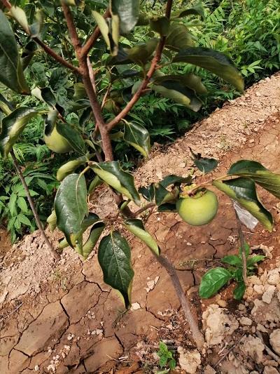 山东新品种柿子苗报价