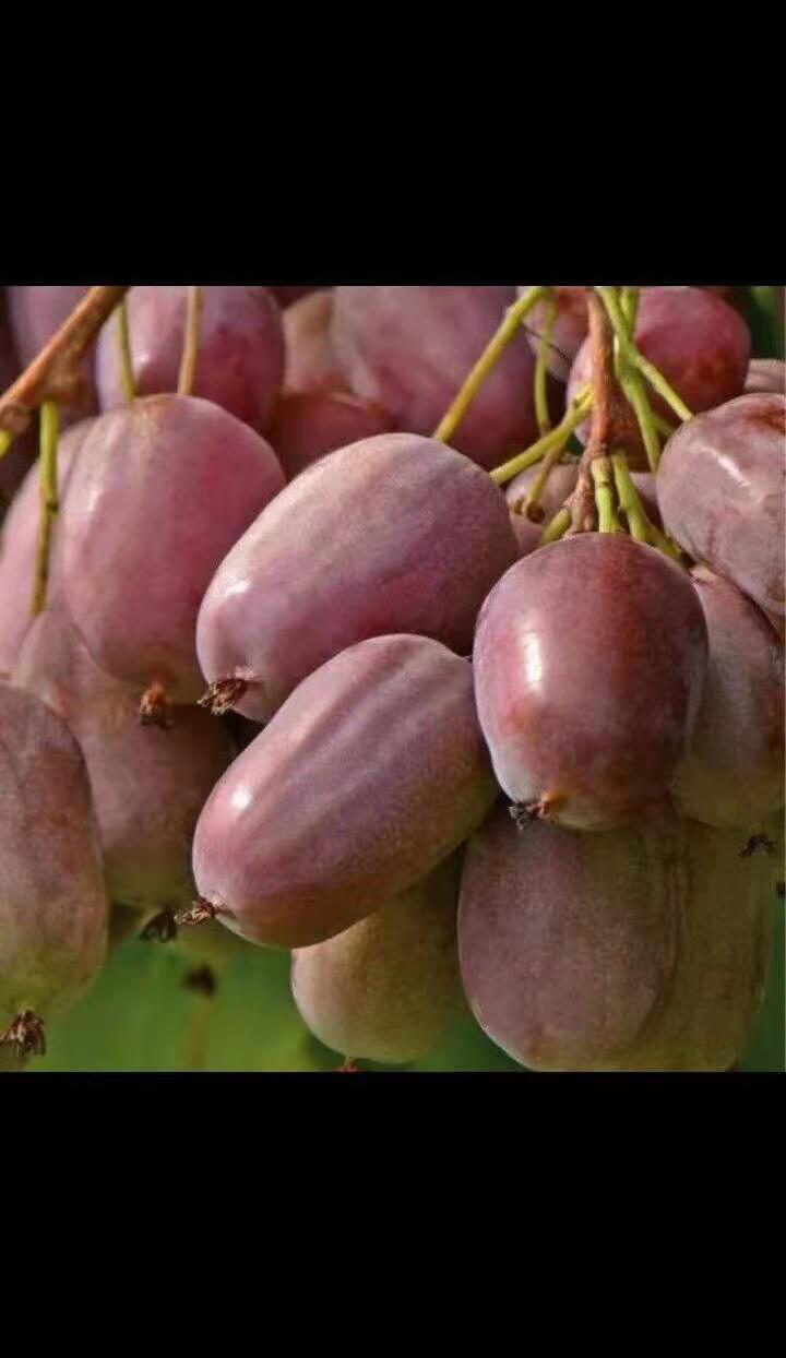 大同猕猴桃树苗出售