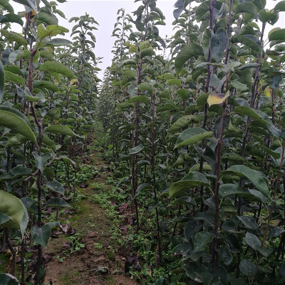 莱芜梨树苗出售