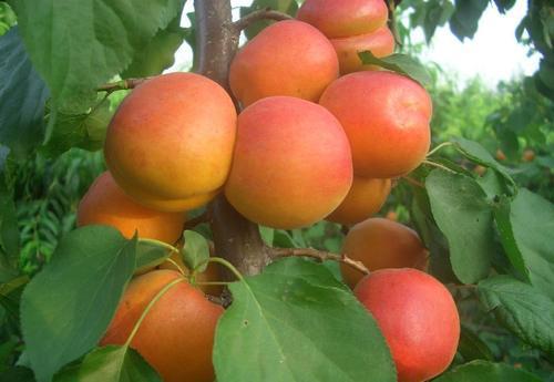 绥化杏树苗出售