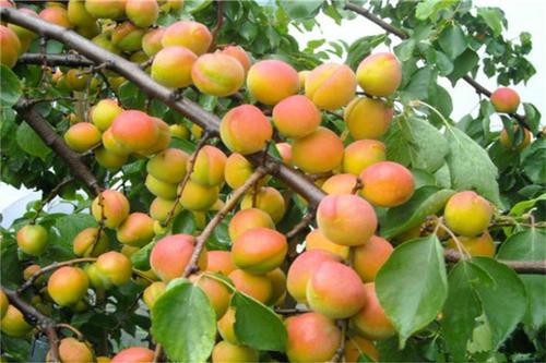 锦州杏树苗出售