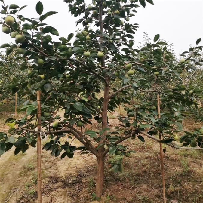4公分柿子树今日价格