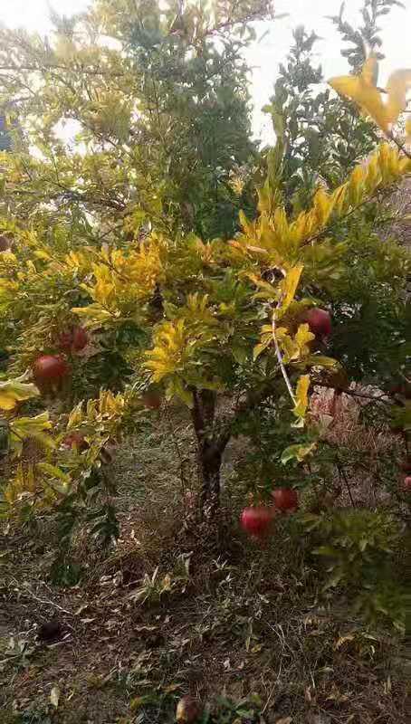 长沙8公分石榴树批发价格
