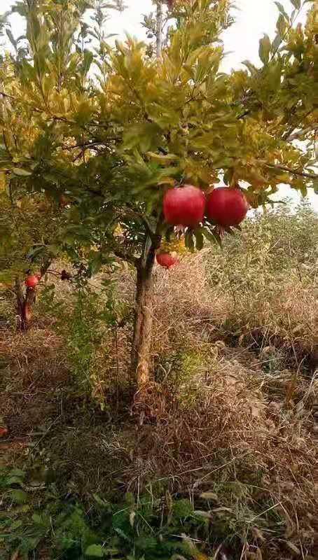 四川2公分石榴树出售